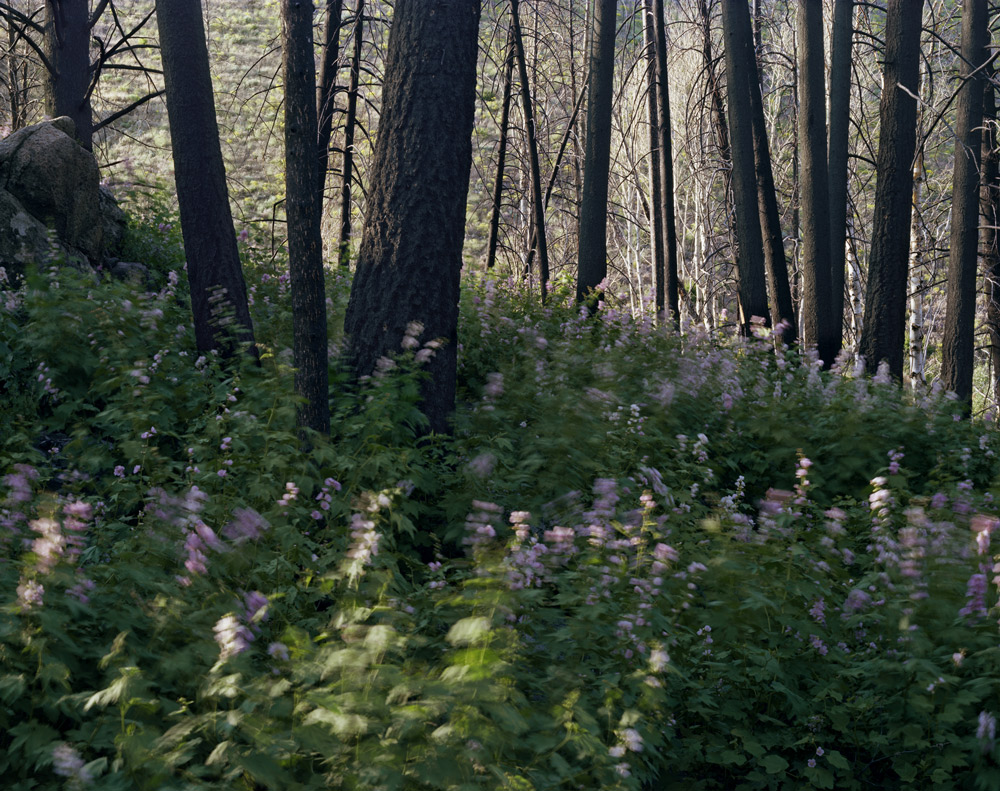 Midsummer (Lupine and Fireweed), Idaho , 2008