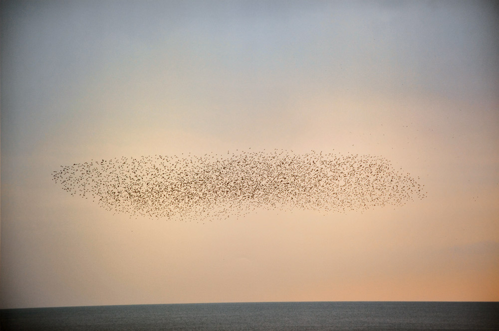 Untitled , from the series  Murmuration , 2011