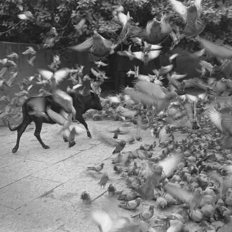 Untitled  (Bull walking through birds) ,  Jaipur, India, 1999 Silver Gelatin Print 16 x 20 inches