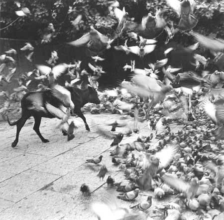 Garciela Iturbide,  Untitled (Bull Walking through Birds) , Jaipur, India