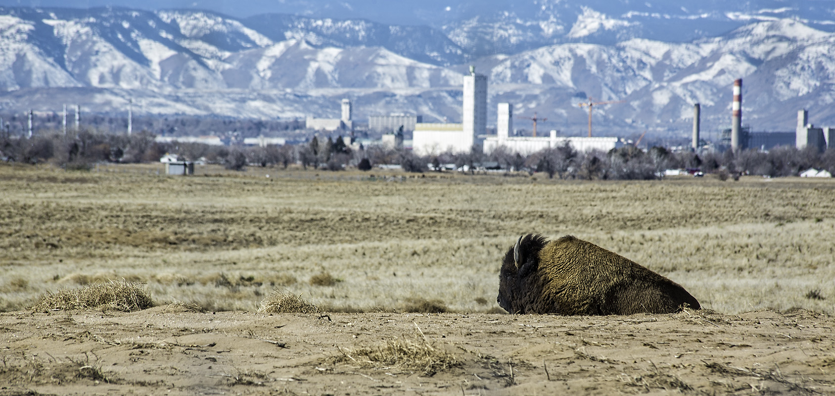 An American Bison rests at Rocky Mountain Arsenal Wildlife Refuge with Commerce City, Colorado in the background.