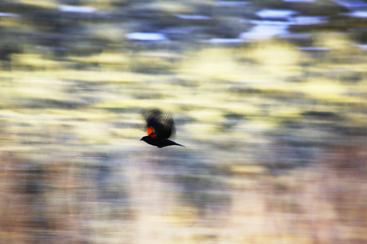 Abstraction of a Red Winged Blackbird trying to get away from me.