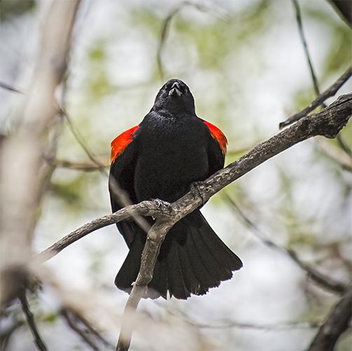 Red Winged Blackbird, Barr Lake State Park, Adams County Colorado.
