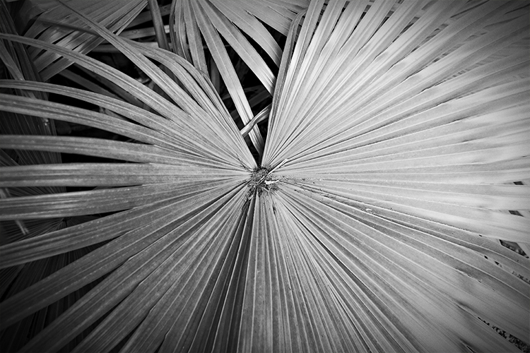 Palm Fronds outside the Jetty Restaurant.  Jupiter, Florida.