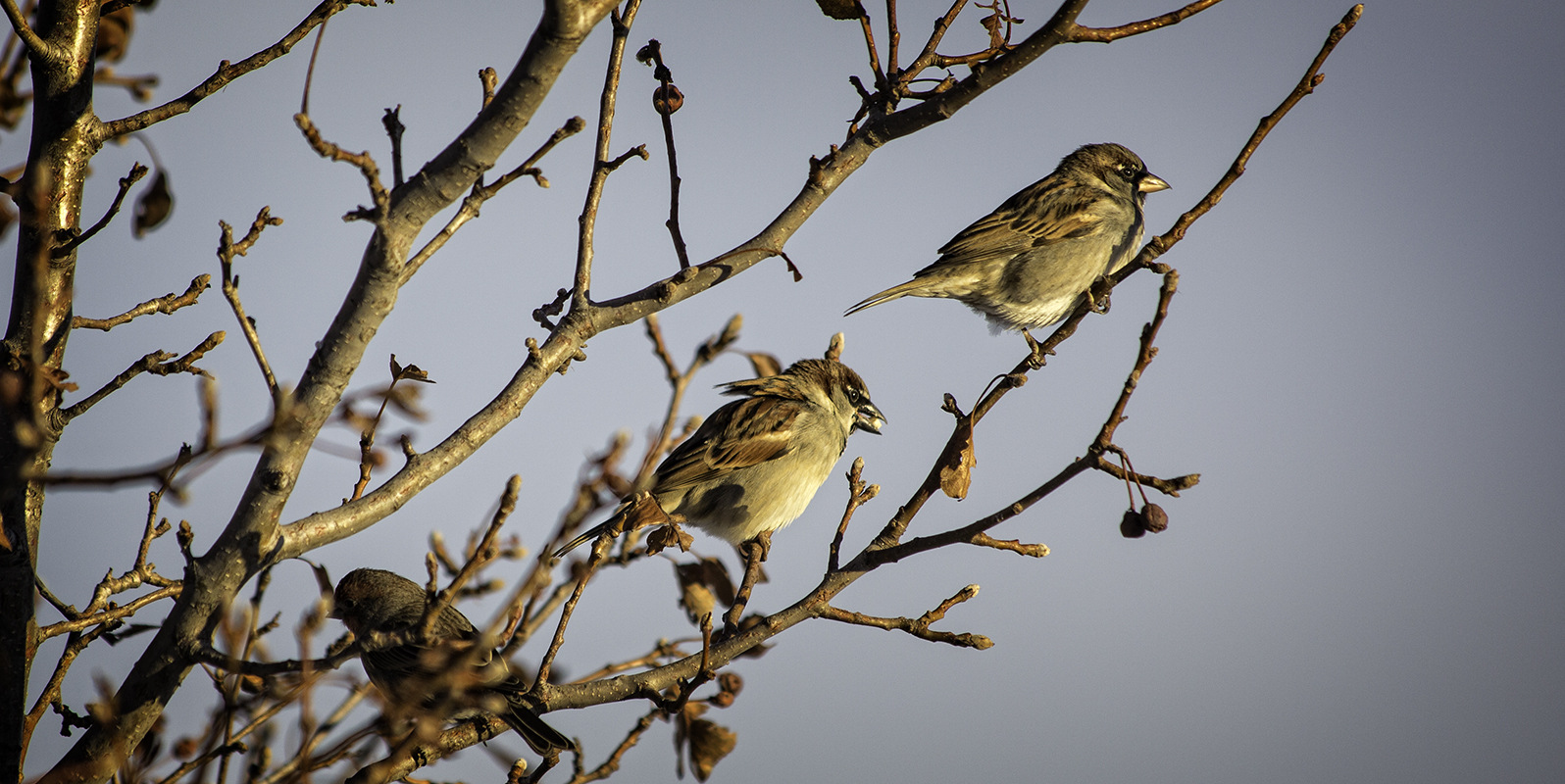 Three Finches sit on a tree in Golden Hour light, waiting their turn at the feeder.