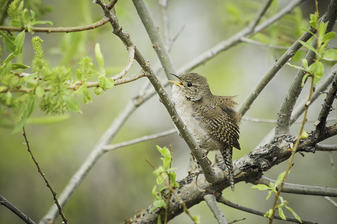House Wren, Barr Lake State Park, Adams County, Colorado.