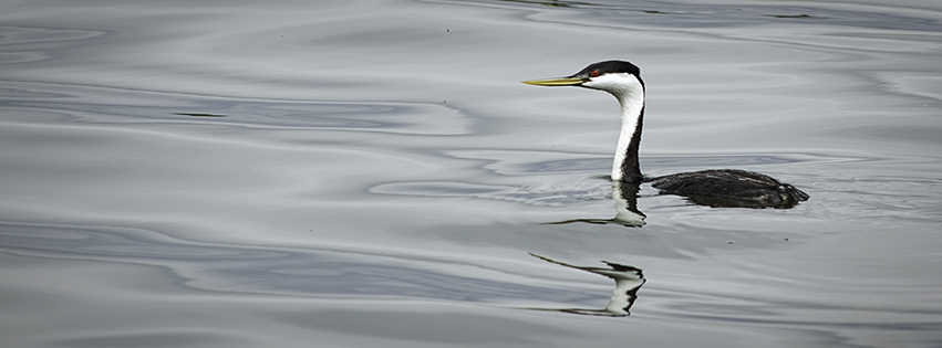 Western Grebe, Barr Lake State Park, Adams County, Colorado.