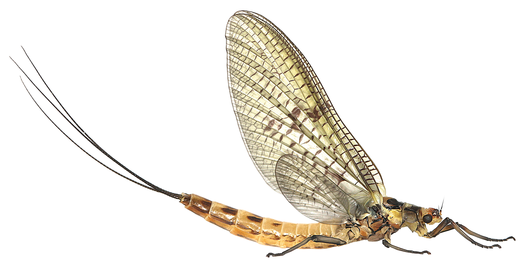Mayfly.png
