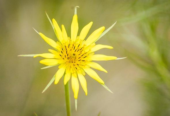 Yellowstone_flower