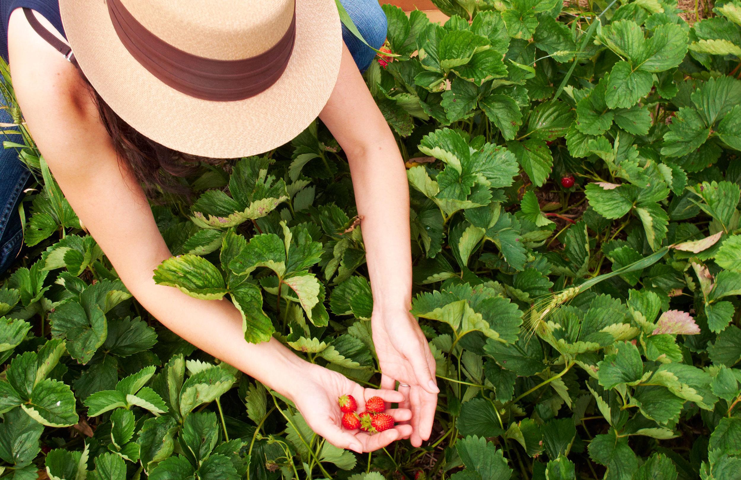 Strawberry season.