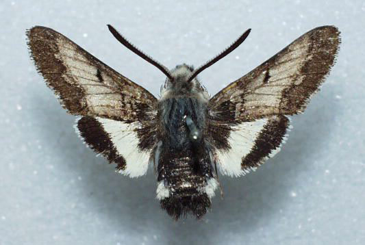 Kern primrose sphinx moth ( Euproserpinus euterpe )