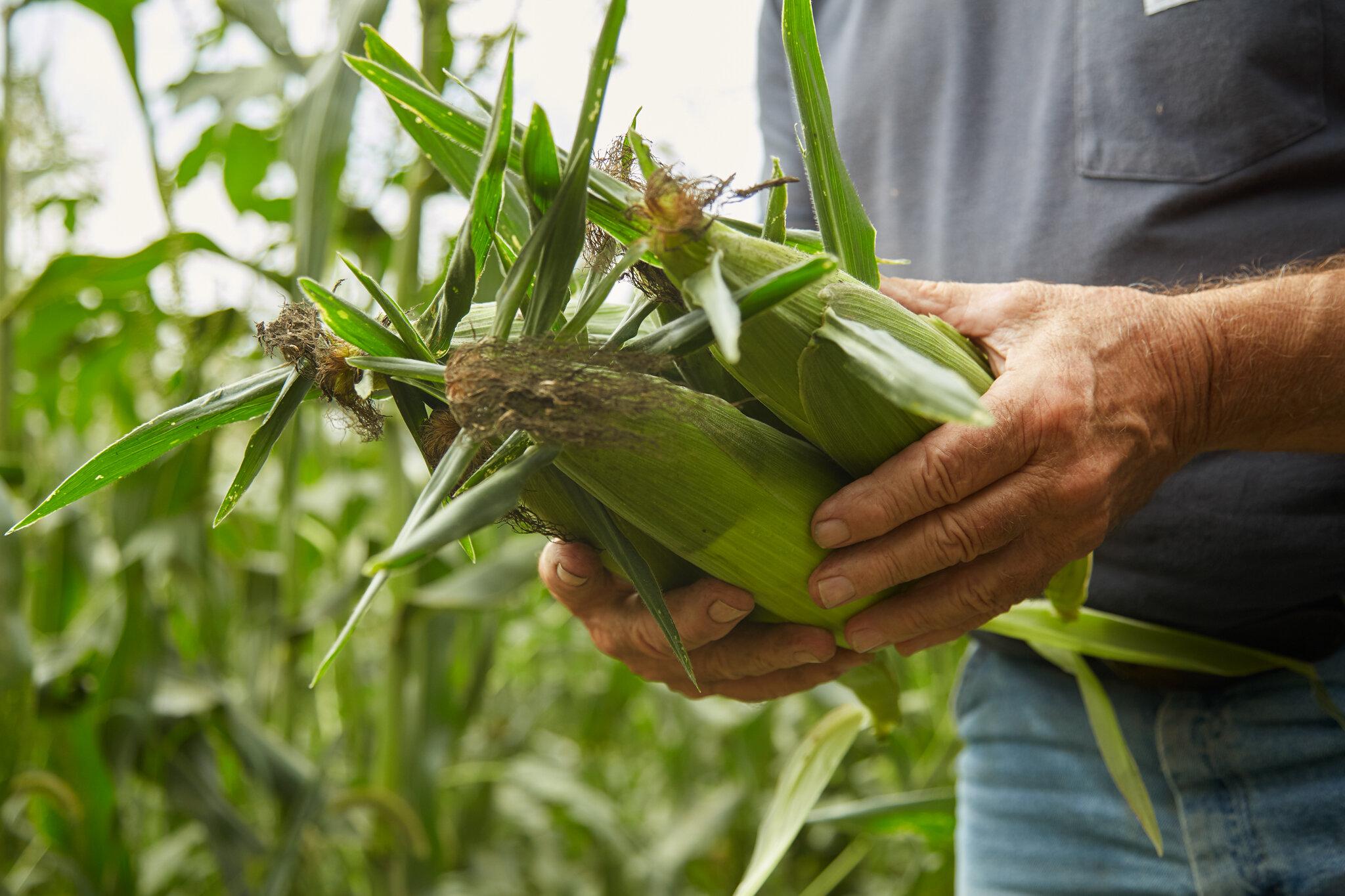 Lloyd Nichols shows off some of his tasty sweet corn.