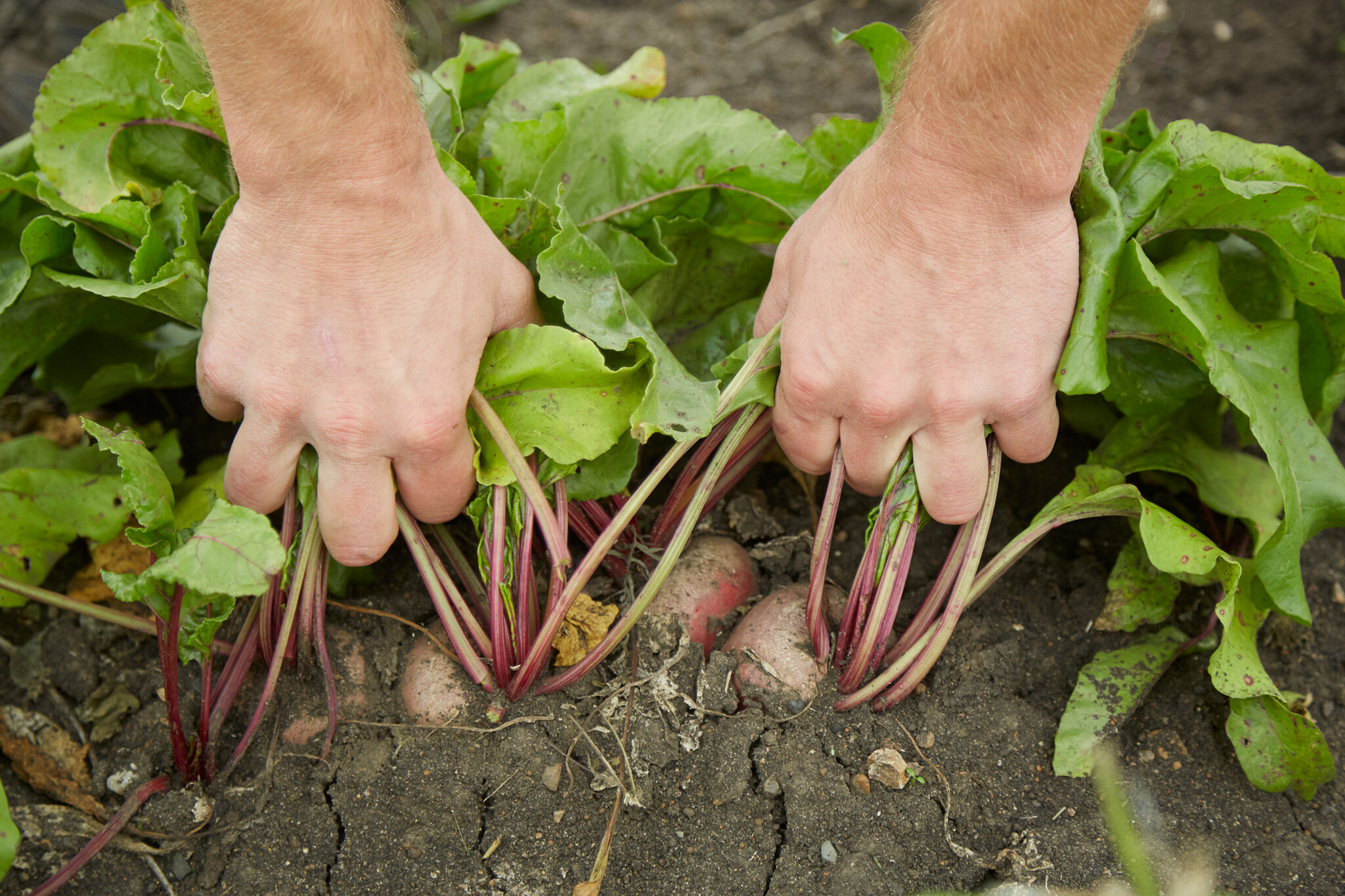 Pulling beets out of the ground by hand.
