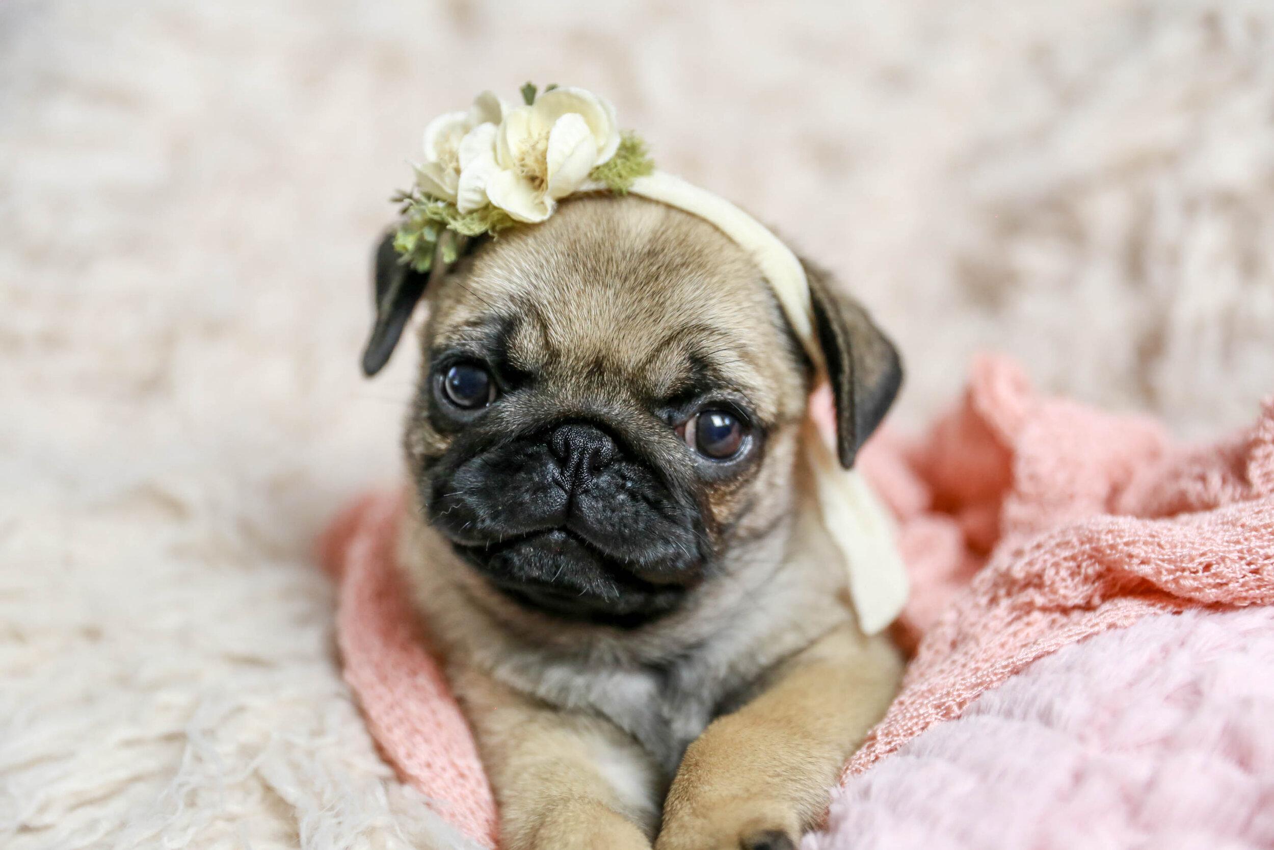 Petunia The Pug Puppy Gainesville Newborn Pet Photography Jamie Greenspan Photography