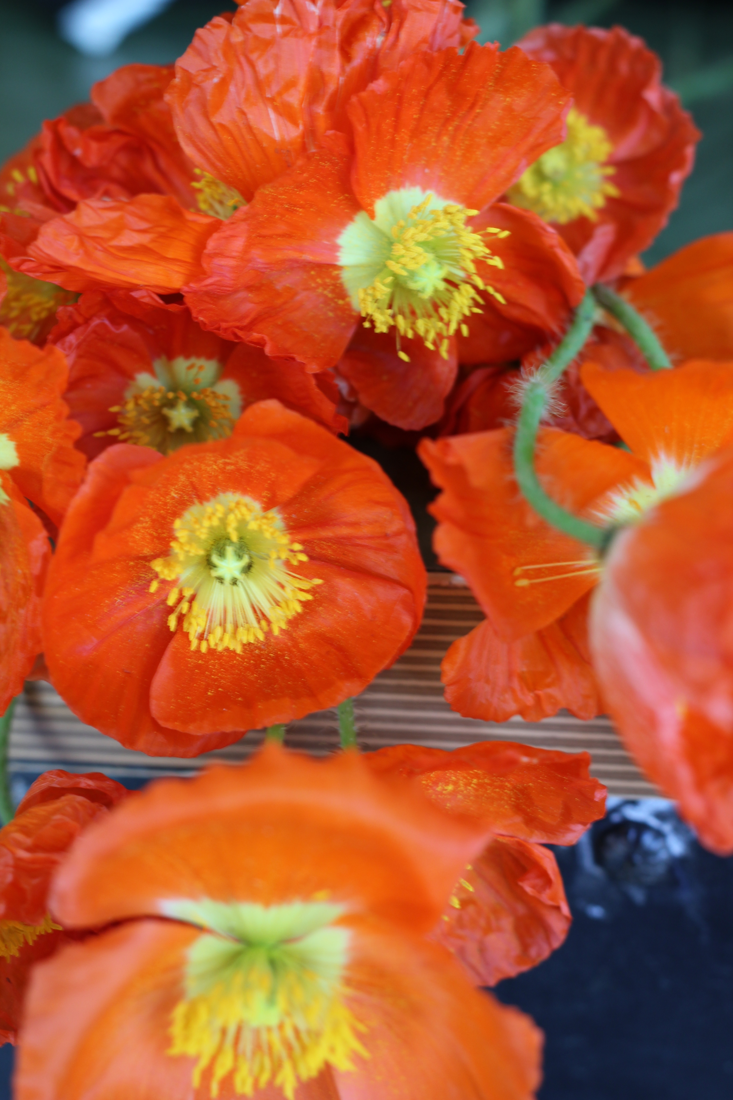 Poppies from Repetto Farm in Halfmoon Bay, CA