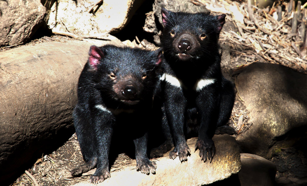 animal-encounters-tasmanian-devil-credit-shutterstock.jpg