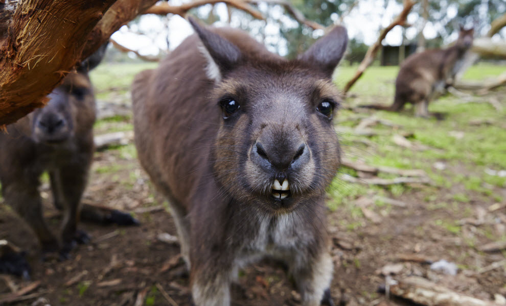 animal-encounters-kangaroo-credit-maxime-coquard.jpg