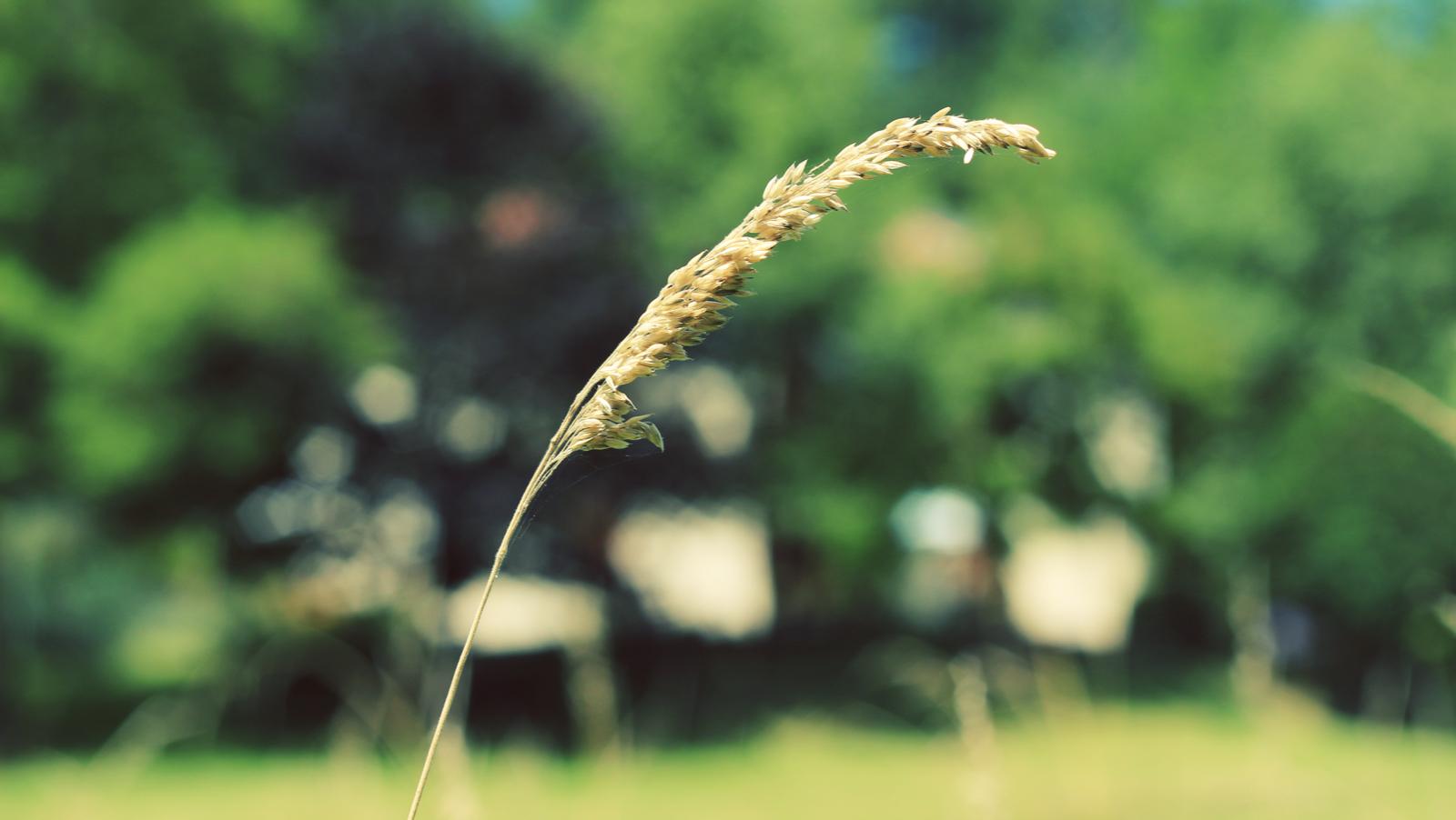 Barley .jpeg