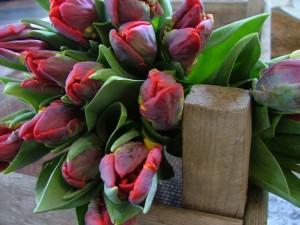 Beautiful Parrot Tulips