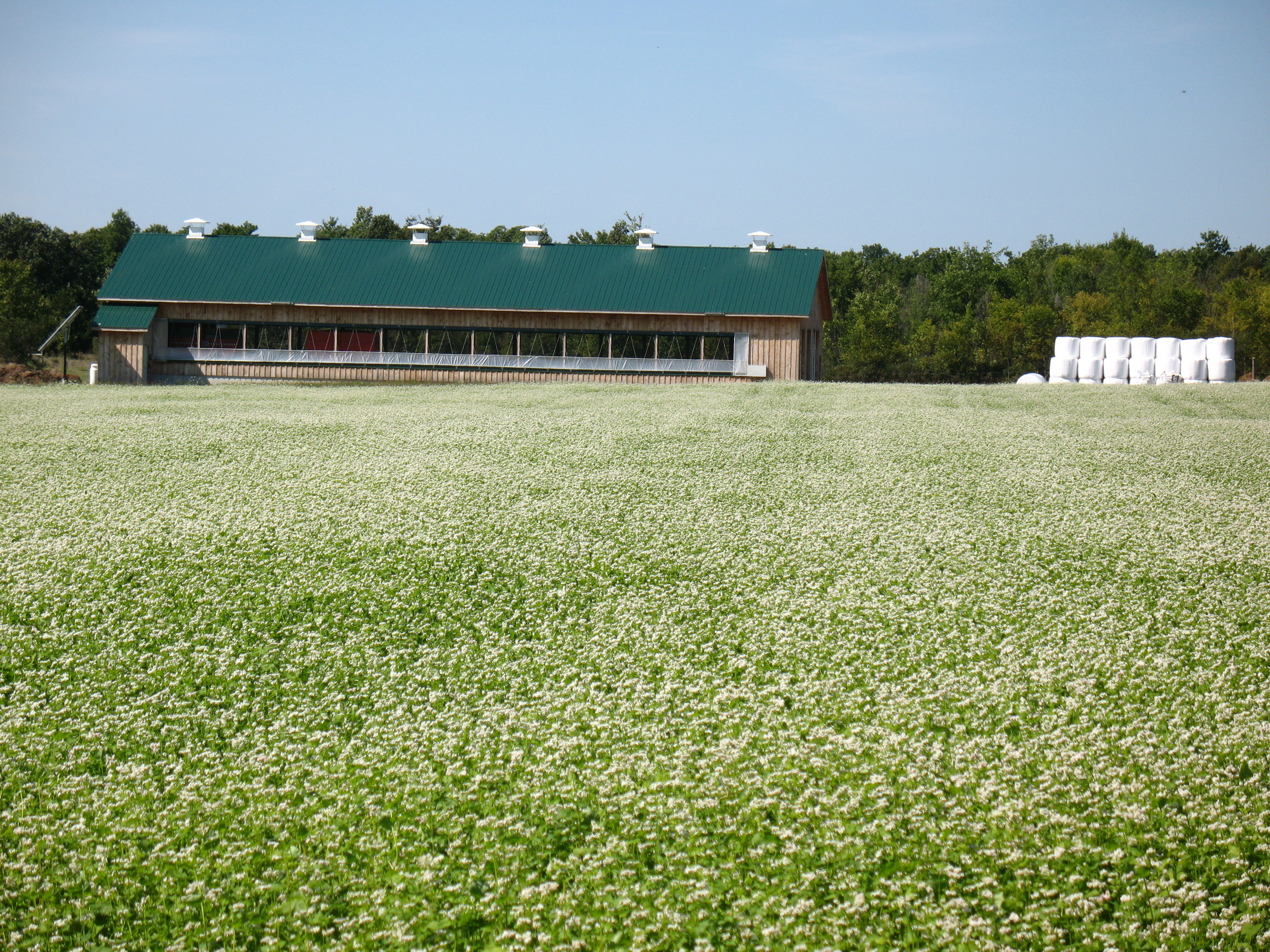 Heifer Barn with field of buckwheat as a cover crop