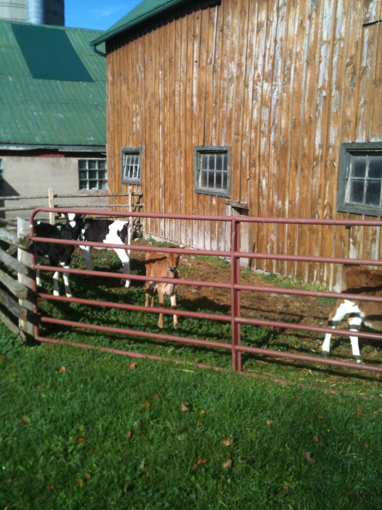 Calves enjoying the sunshine