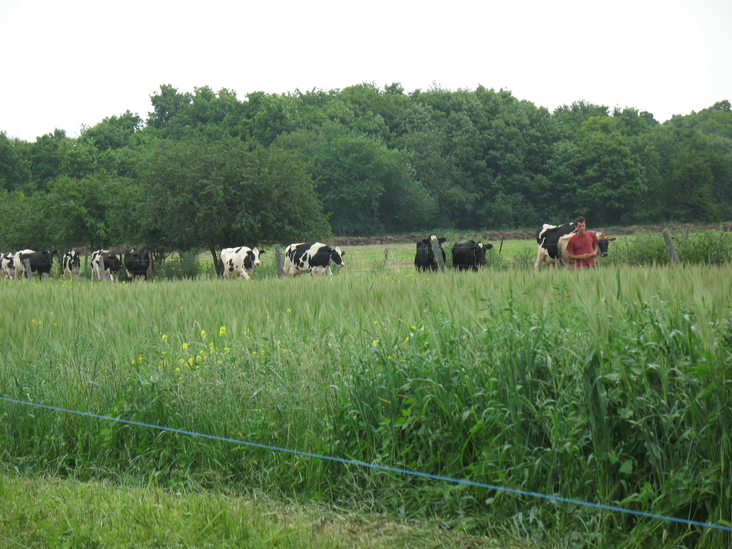 Cows coming up from pasture for milking with Charlie