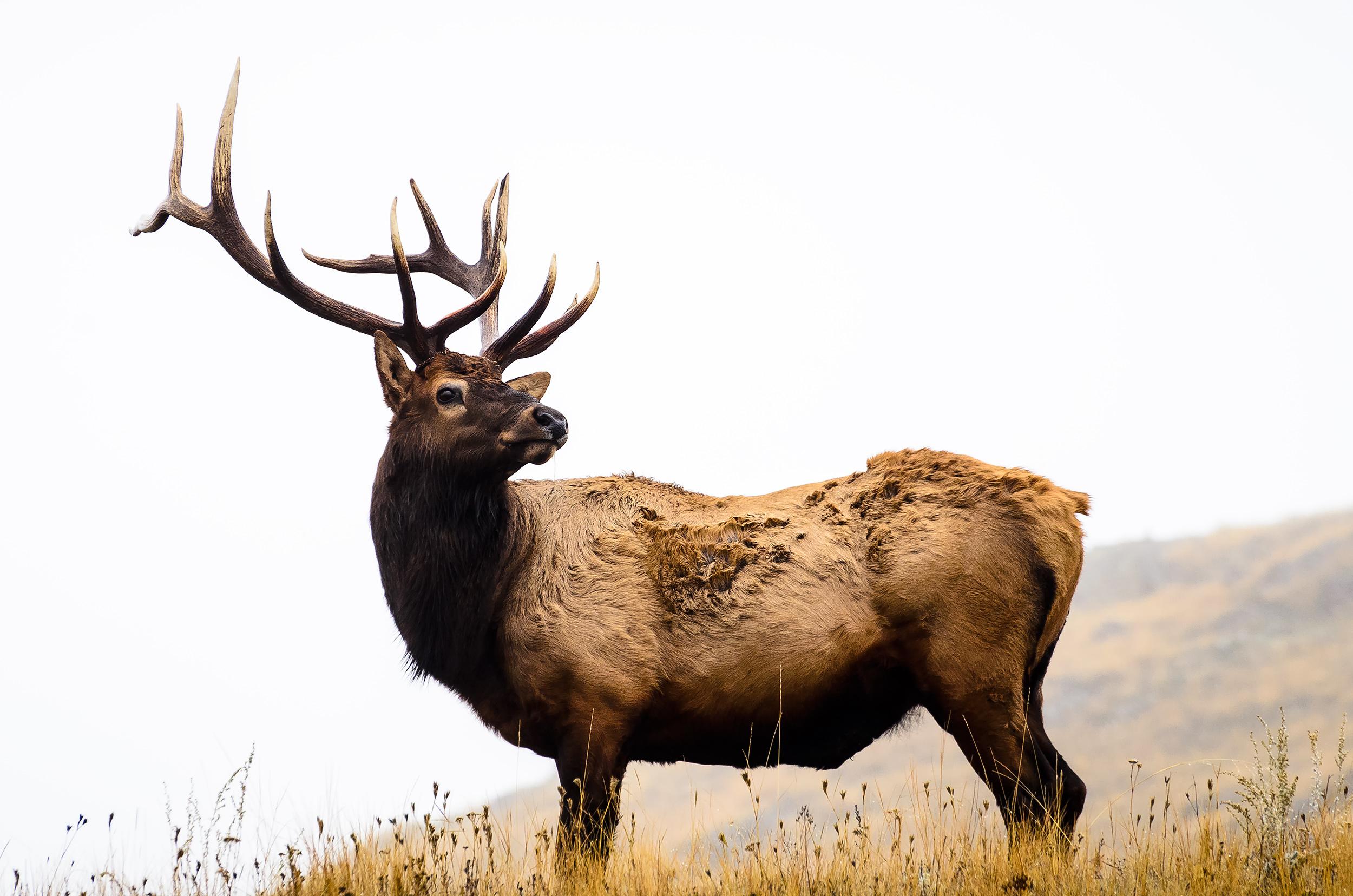 Bison Range Bull