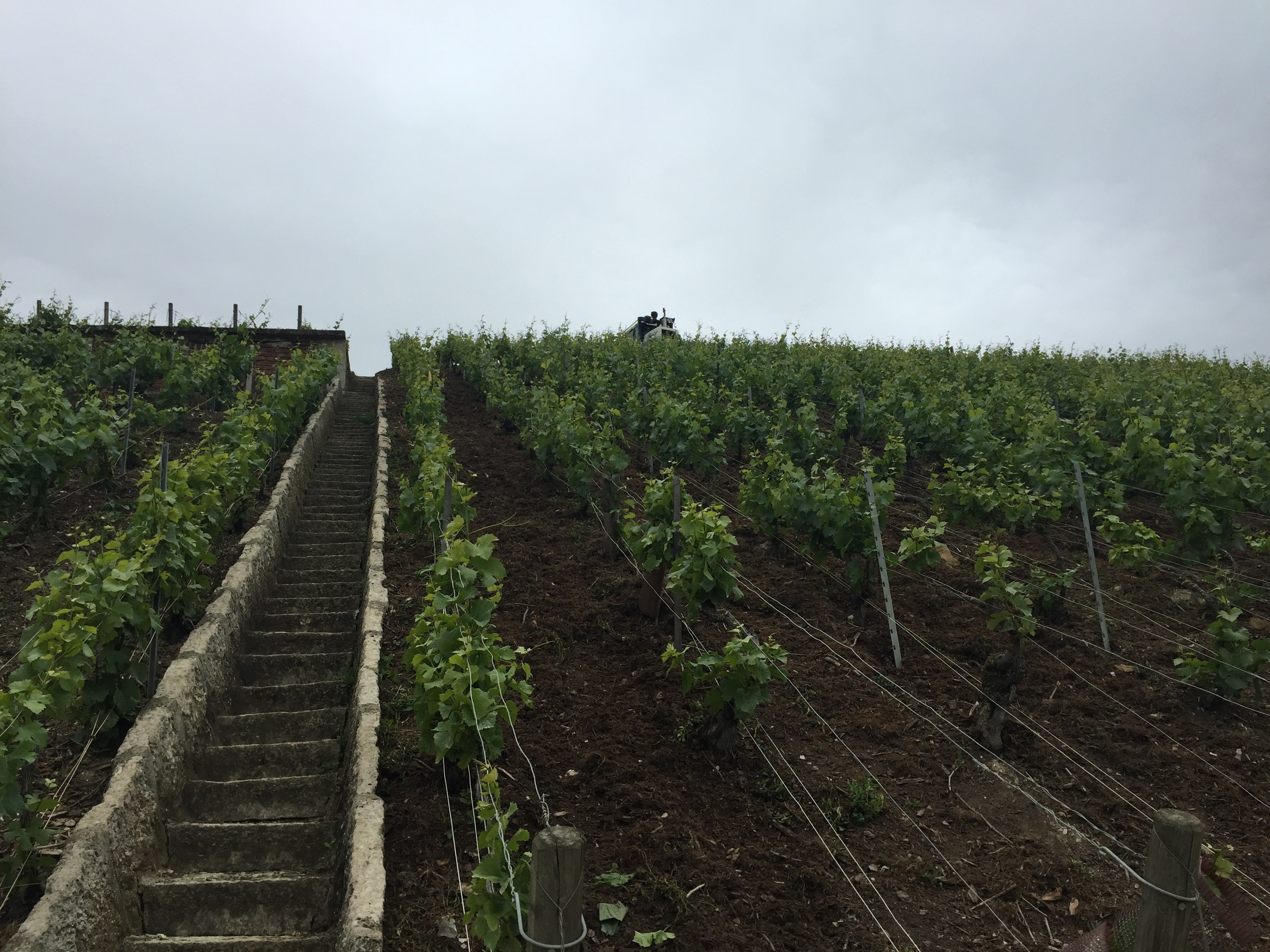 Some sweet vines and a fantastically dangerous flight of stairs in Clos des Goisses.