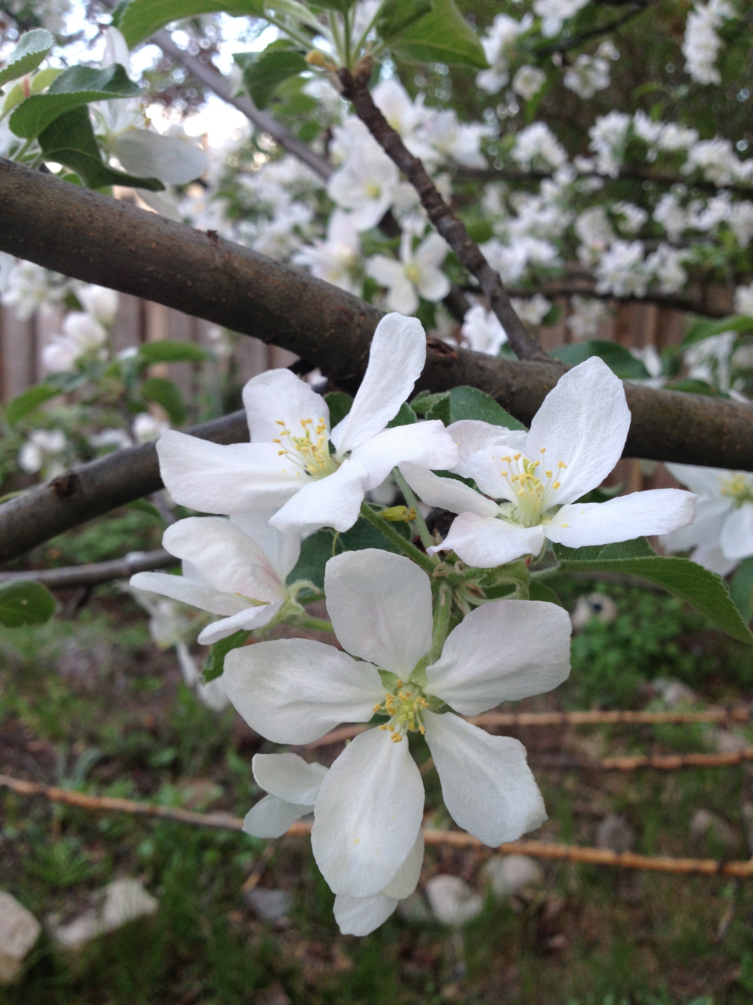 Apple blossoms by Sara