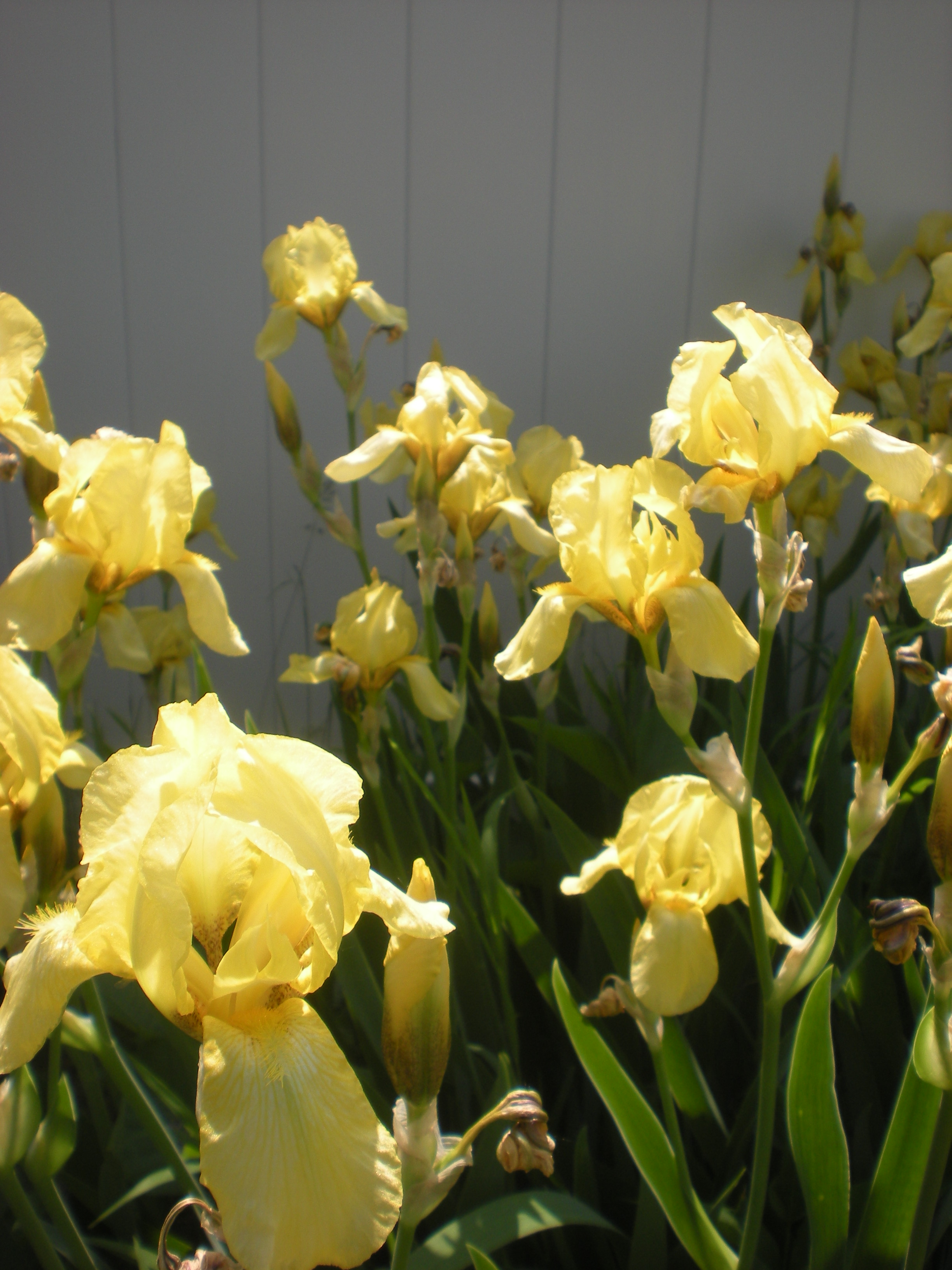 LOOKING GOOD Sun-kissed irises brighten the yard and my spirits.