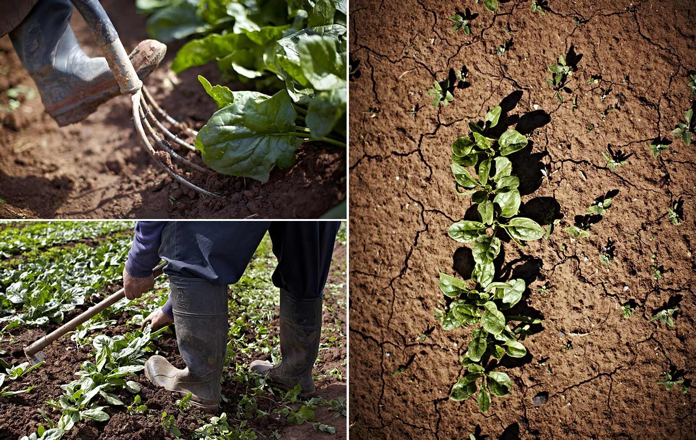 Kylie-Grinham-Melbourne-Photographer-Market-Gardener-Farmers-Spinach-Harvest-Dirt.jpg