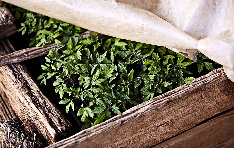Tomatoes-Seedlings-Kylie-Grinham-Farming.jpg