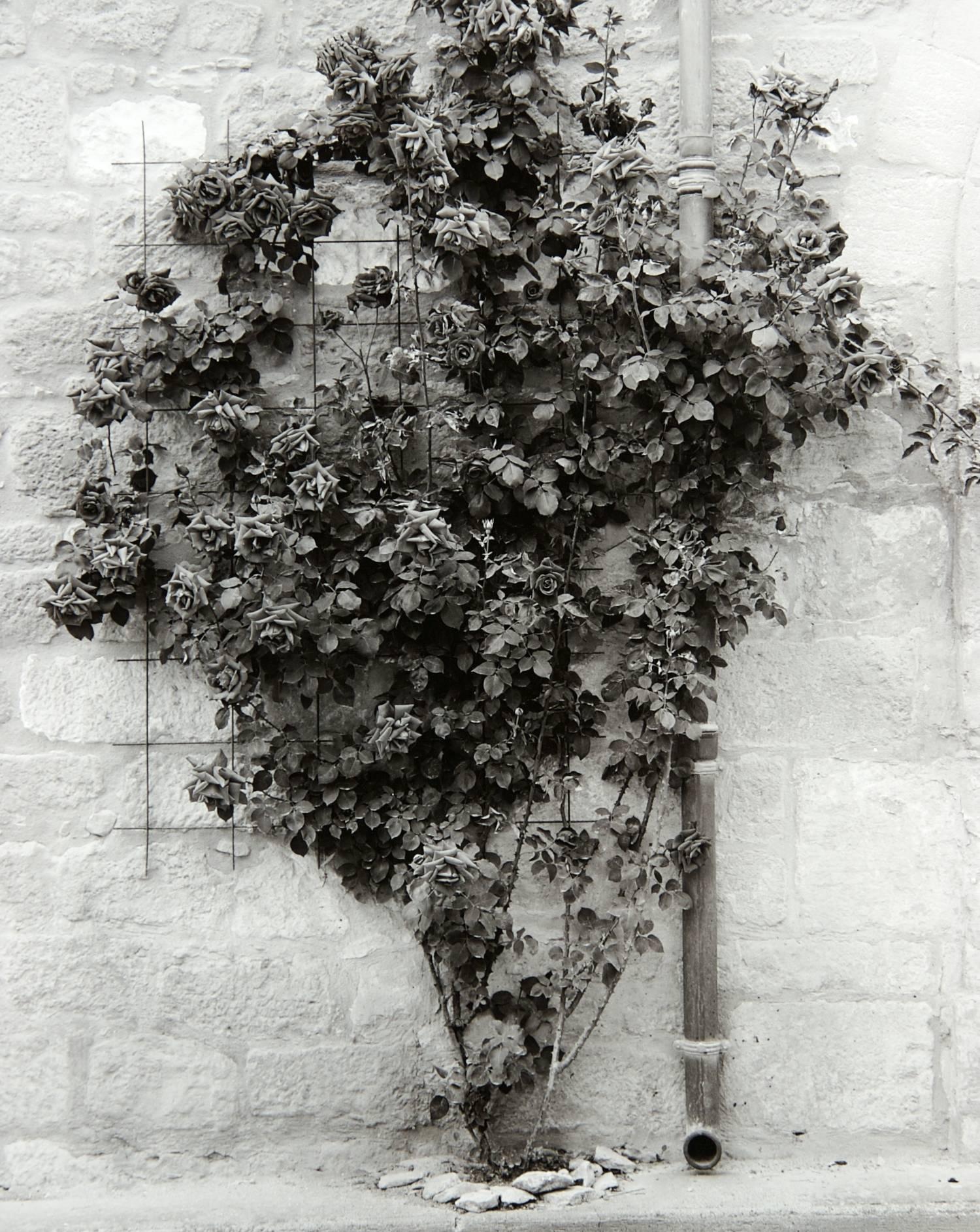 Roses (Saint-Cyprien, France)