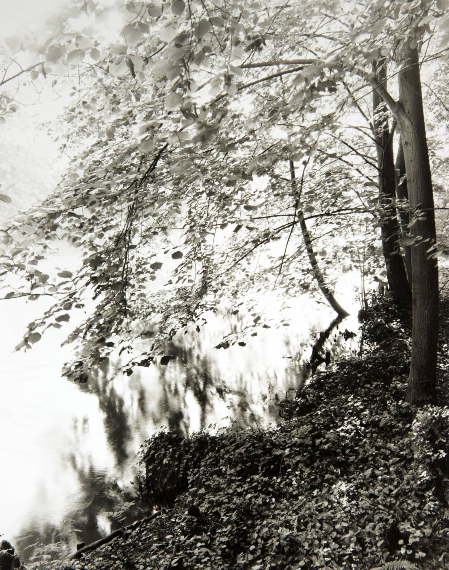 Trees on the L'Ill River (Ostwald, France)