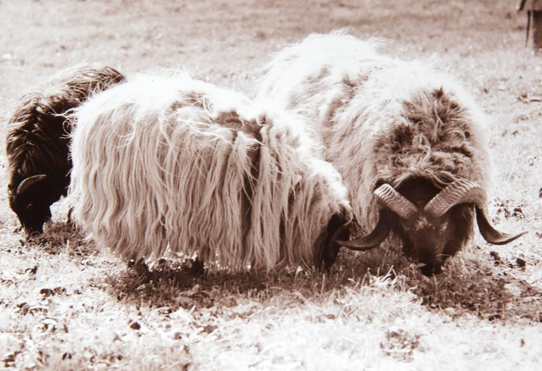 Sheep (Melk, Austria)