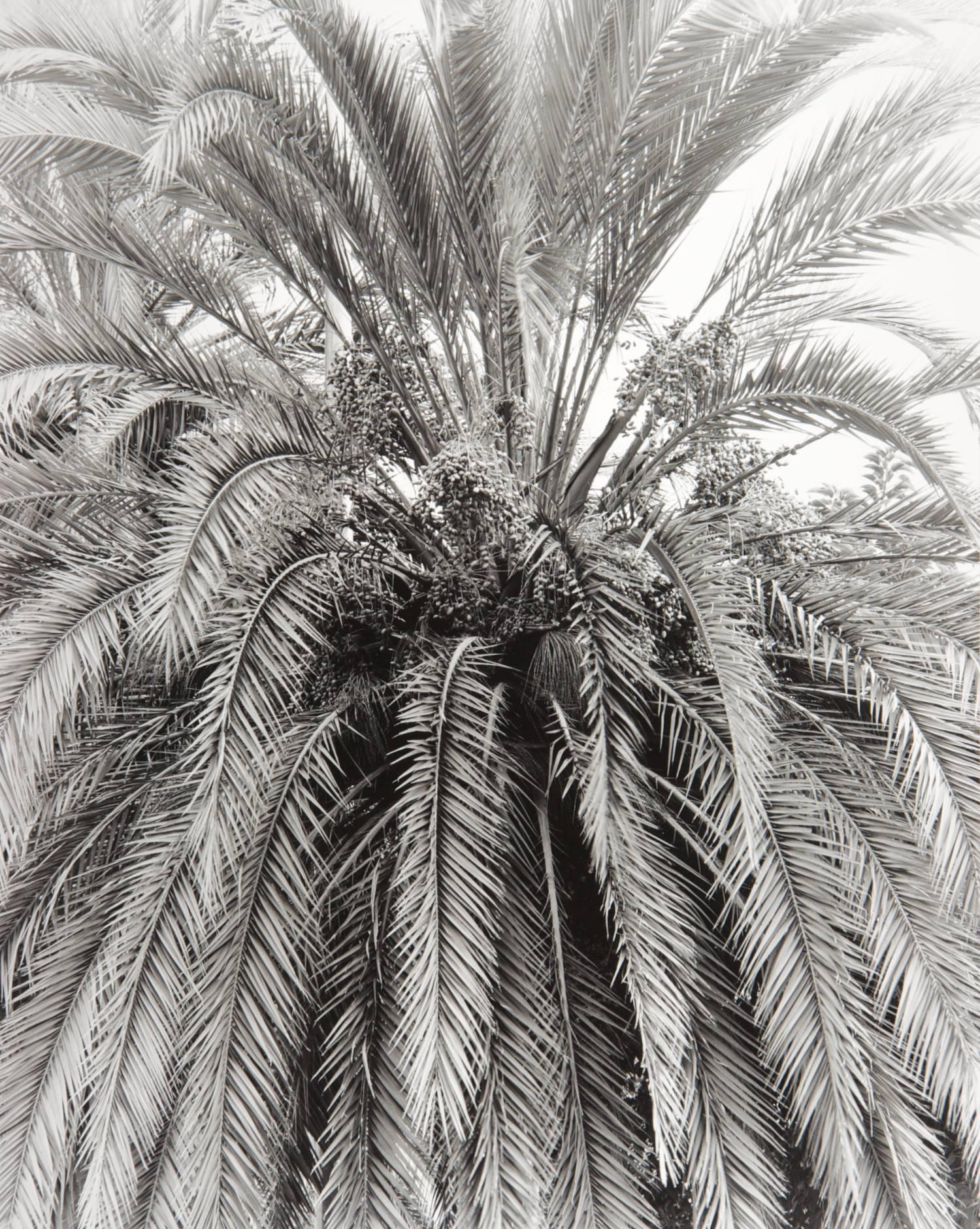 Barcelona Palm (Spain)