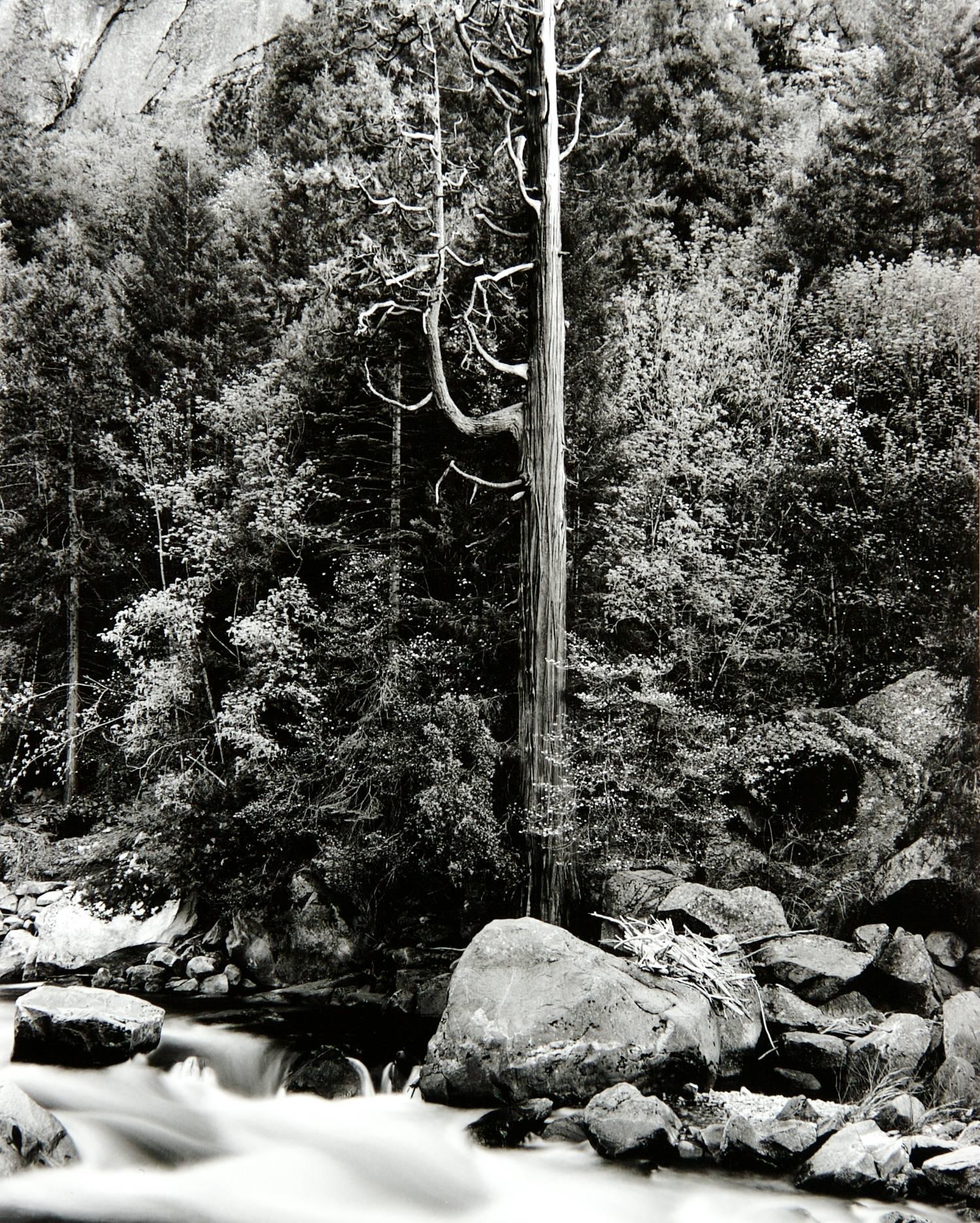Redwood & Dogwood Along the Merced (Yosemite National Park)