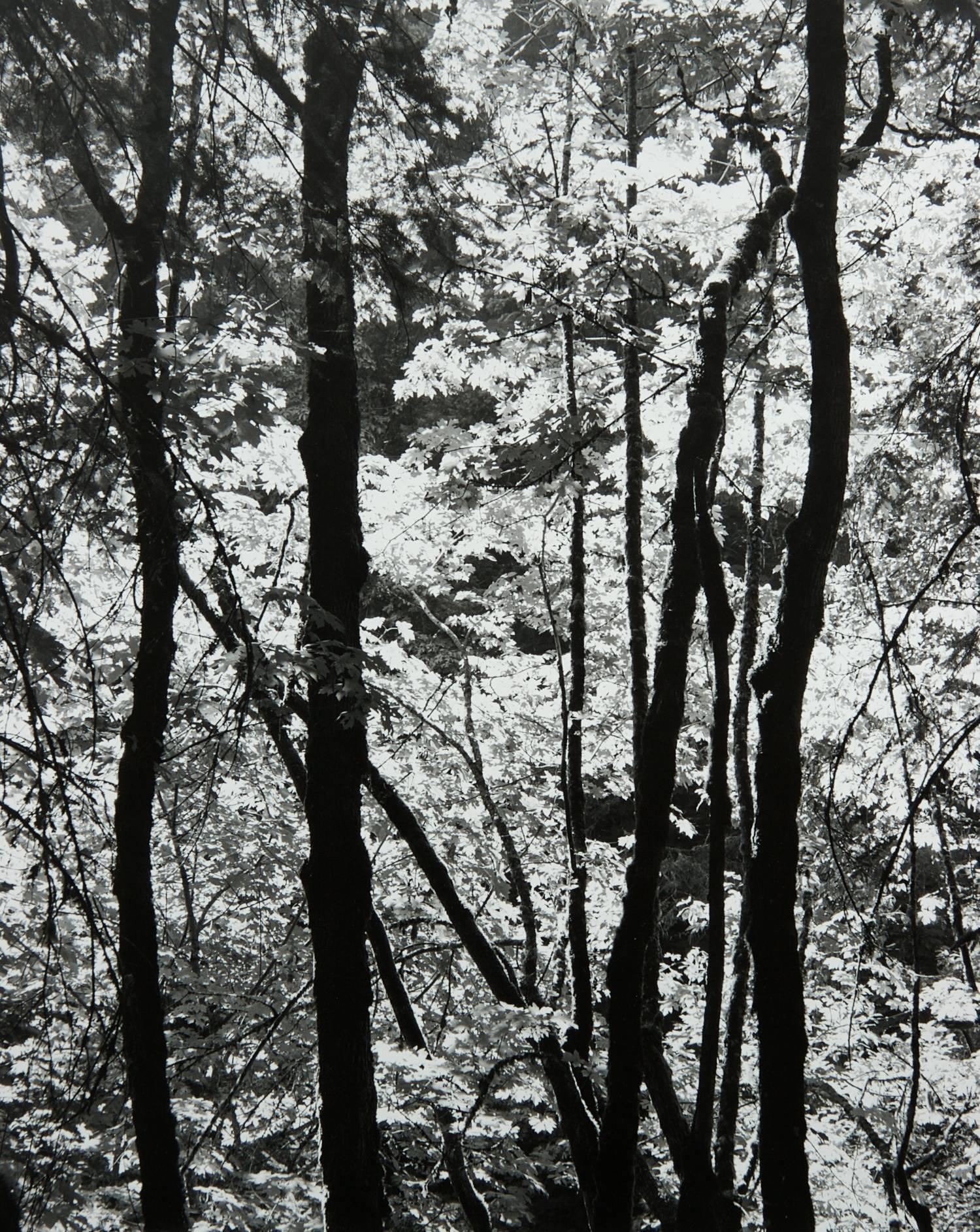 Trees Along Wyatt Creek Trail (Oregon)