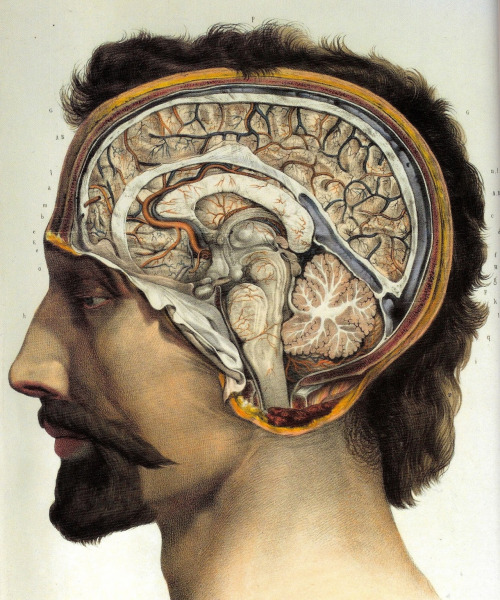 Cross-section of the head showing brain and cerebellum, by Jean-Baptiste Marc Bourgery