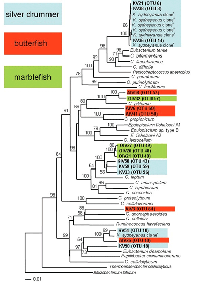 Comparison of bacteria isolated from the guts of three different herbivorous fish species.