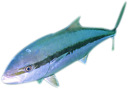 Adult yellowtail kingfish,  Seriola lalandi