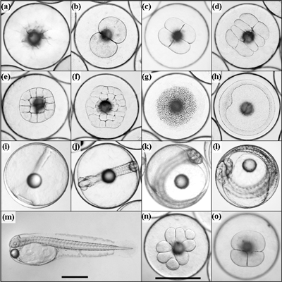 Developmental stages and cleavage abnormalities of yellowtail kingfish: (a) pre-cleavage; (b) 2 cell; (c) 4 cell; (d) 8 cell; (e) 16 cell; (f) 32 cell; (g) mid-stage blastula; (h) gastrula; (i) appearance of embryo; (j) 20 myomere embryo; (k) advanced embryo; (l) pre-hatch embryo; (m) larva 4 hours post-hatch; (n) asymmetrical cleavage in blastula; (o) indistinct cell margins in blastula. Scale bar for (a)-(l) and (n)-(o) shown in (n); scale bars represent 1 mm.
