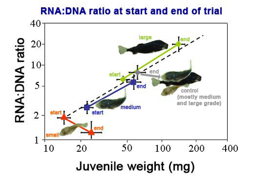 Average RNA:DNA ratio of individuals at the start and end of the size grading trial.