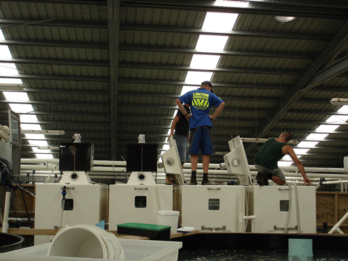 Loading the fish into the transport tanks is an important step in the transportation process. At this point the fish are the most stressed and water quality needs to be carefully monitored. After an hour the fish become accustomed to confinement and metabolic rate decreases substantially.