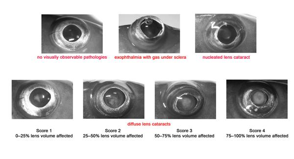 Eye diseases in juvenile Atlantic cod were categorised as above using field methods.