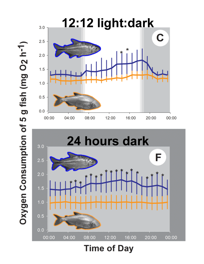 Daily variation in oxygen consumption of  A. mexicanus  at a set swimming speed