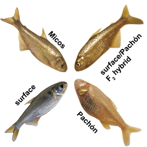 These are all the same species of fish, the Mexican tetra ( Astyanax mexicanus ), but note how different the eye size is.