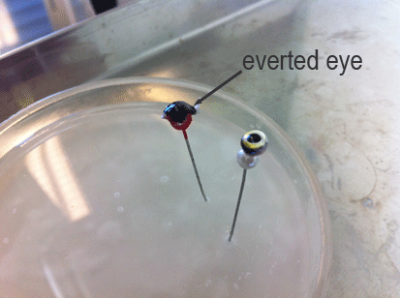 The eyes from surface variants of Mexican tetra were glued to ball head pins for use in the oxygen consumption measurement system.