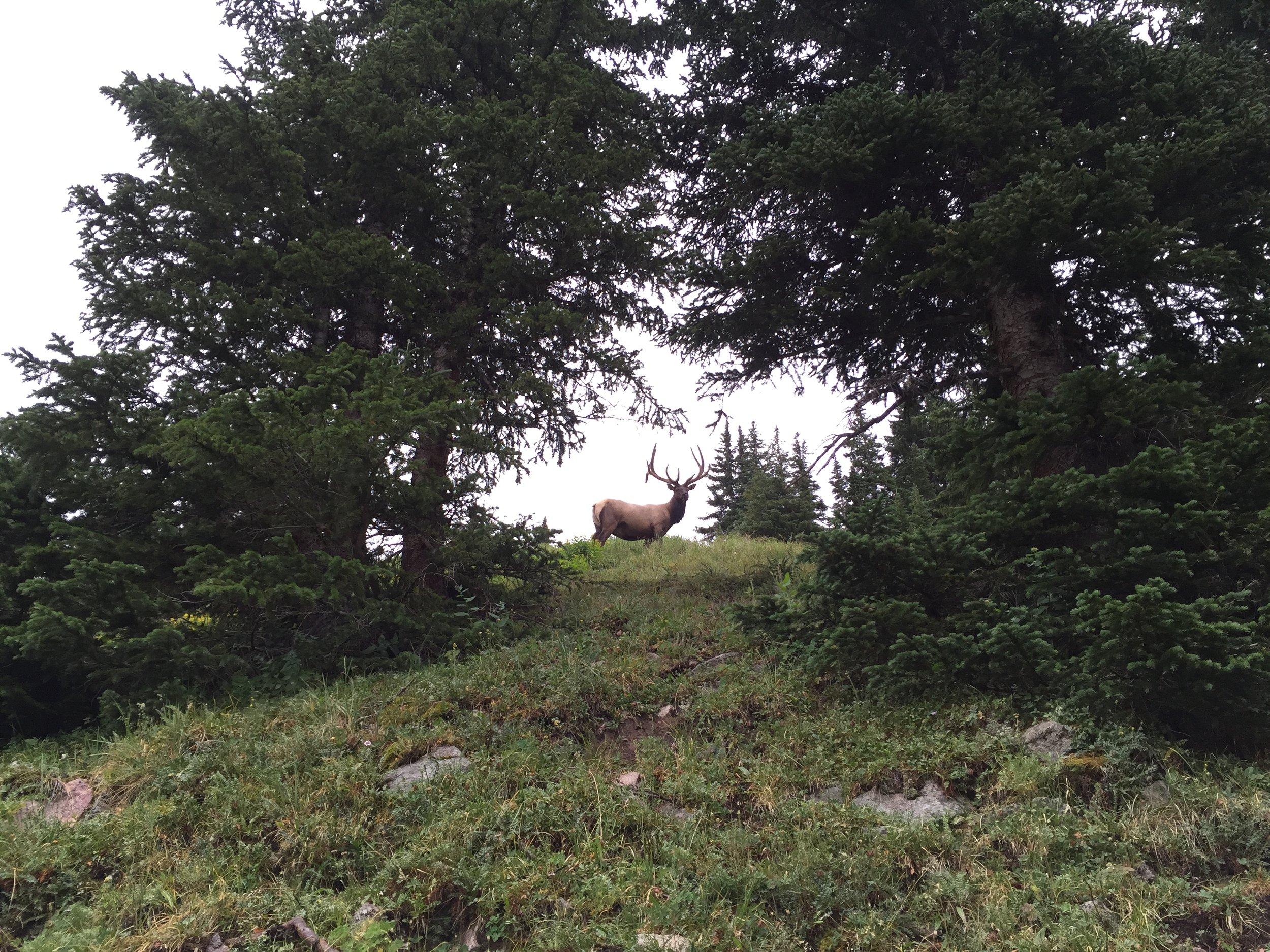 Elk on the Tonahutu Loop hiking trail