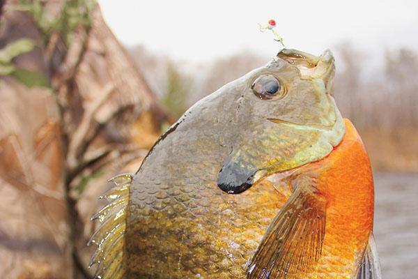 bluegill_fishing